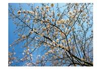 Yellow Blossoms 1 Fine Art Print