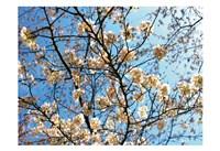 Yellow Blossoms 2 Fine Art Print