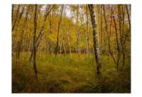 Birch Woods 1 Fine Art Print