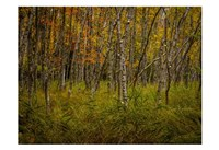 Birch Woods 2 Fine Art Print