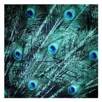 Peacock Spread Fine Art Print
