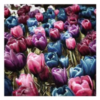 Colorful Tulips Fine Art Print