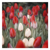 Red Flowers in a Group Fine Art Print