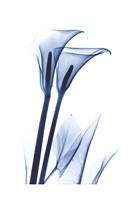 Calla Lily Indigo Fine Art Print
