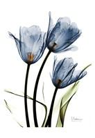 Indigo Infused Tulips Fine Art Print