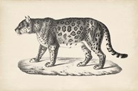 Female Leopard Fine Art Print