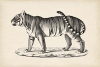 Male Tiger Fine Art Print