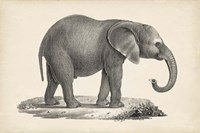 Young Elephant Fine Art Print
