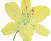 Citron Tiger Lily I Framed Print