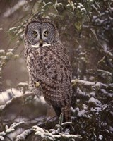 Owl in the Snow I Fine Art Print