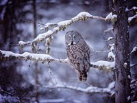 Owl in the Snow II Fine Art Print