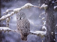 Owl in the Snow III Fine Art Print