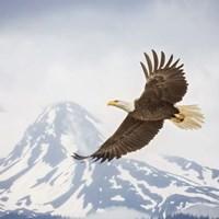 Majestic Eagle II Fine Art Print