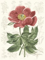 Peony Flower Garden II Framed Print