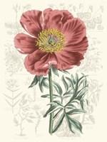 Peony Flower Garden IV Framed Print