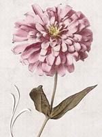 Pink Zinnia I Fine Art Print