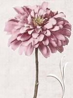 Pink Zinnia II Fine Art Print
