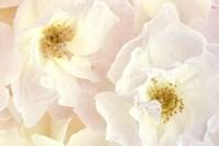 Pink Blossoms II Fine Art Print