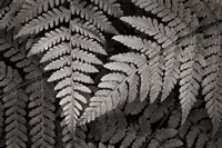 Lady Fern II Fine Art Print