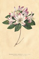 Rhododendron Vintage Fine Art Print