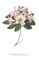 Rhododendron Bright Fine Art Print