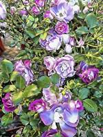 Climbing Lilac Rose Fine Art Print