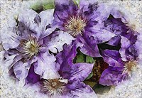 Dreams of Lilac Clematis Fine Art Print