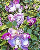 Soft Lilac Rose Fine Art Print