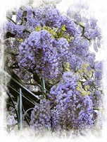 Wisteria Clouds Fine Art Print