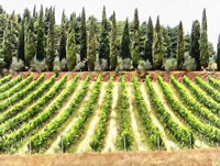 Cypresses and A Vineyard In Umbria Fine Art Print