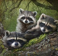 Raccoons As Art Fine Art Print
