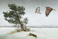Lone Tree Redtail Hawks Fine Art Print