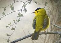 Wetland Wilson's Warbler Fine Art Print