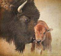 Bison Mother And Calf Framed Print