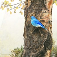 Mountain Bluebird On Dead Aspen Fine Art Print