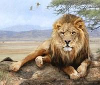 Shady Spot Lion Male Fine Art Print