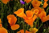Wildflowers Poppy Arizona 2 Fine Art Print