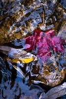 West Fork Creek Leaves Fine Art Print