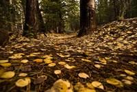 Aspen Leaves Bismark Trail Arizona Mtns Fine Art Print