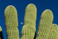 Color Saguaro Cactus Moon Arizona Superstition Mtns Fine Art Print