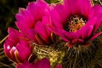 Prickly Pear Cactus Arizona Desert Horizontal Fine Art Print