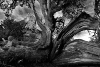 Sedona Juniper Tree Fine Art Print