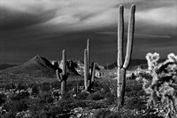 Saguaros Superstition Mtns Arizona Fine Art Print