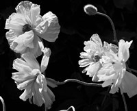 New Mexico Poppies Fine Art Print