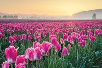 Skagit Valley Tulips I Fine Art Print