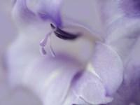 A Gift in Purple I Framed Print