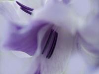 A Gift in Purple III Framed Print