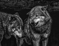Wolfpack Black & White Fine Art Print