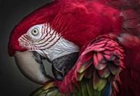 Red Ara Parrot Fine Art Print