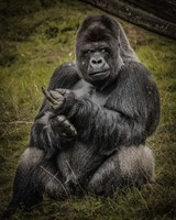 The Male Gorilla Black Fine Art Print